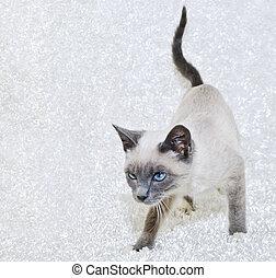 Beautiful Siamese Kitten - Very cute Siamese kitten with...