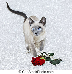 Beautiful Siamese Kitten - Sweet Siamese kitten with big...