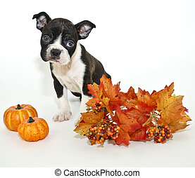 Fall Puppy - Boston Terrier with fall decor on a white...