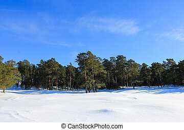 Winter lanscape. Pine tree forest