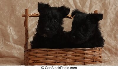 Two Scottish Terrier puppy in a basket