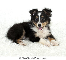 Sheltie (Shetland Sheepdog) Puppy