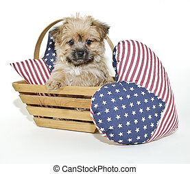Forth of July Puppy - Cute little Morkie puppy sitting in a...