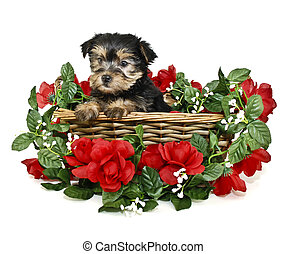 Sweet Yorkie Puppy - Yorkie Puppy sitting in a basket with...