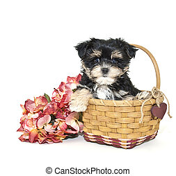 Yorkie Mix Puppy - Very cute Yorkie mix puppy sitting in a...