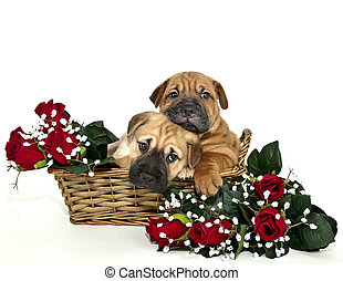 Two Shar pei Puppies Snuggling - Two Shar pei puppies...