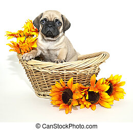 Pug Puppy sitting in a basket with flowers around her, on a...