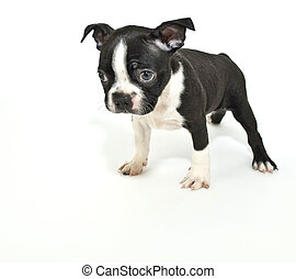 Boston Terrier Puppy Saying quot;Im Sorryquot; - Boston...