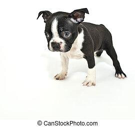 Boston Terrier Puppy Saying quot;Im Sorryquot; - Boston...