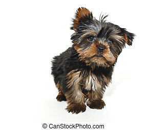 Tiny Yorkie Puppy - Very cute yorkie puppy on a white...