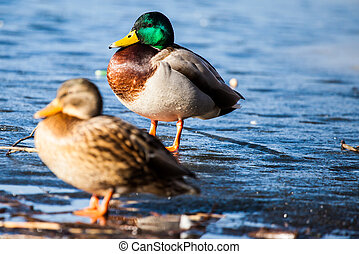 Wild Mallard ducks sitting in lake ice