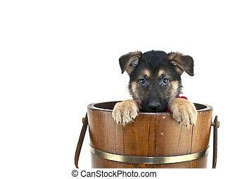 Peek A Boo Puppy - Shepherd puppy that looks like he is...