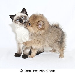 Puppy Kisses - Cute puppy giving a kitten a kiss on a white...