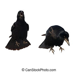 Rook for halloween, isolated on white background Corvus...