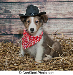 Cute Little Cowboy Puppy - Little Sheltie puppy dressed up...