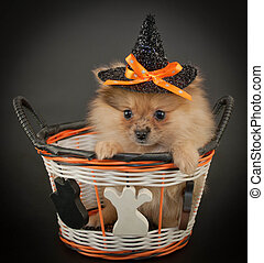 Halloween Puppy - Cute little Pom puppy wearing a witch hat...