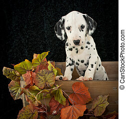 Fall Dalmatian Puppy - Cute Dalmatian puppy in a crate with...