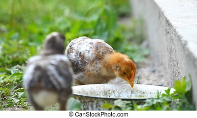 Baby chicks drinks water
