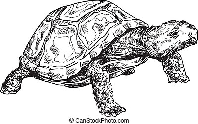 hand drawn turtle illustration