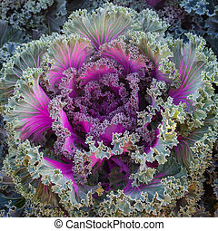 Ornamental cabbage and Purple cabbage crops at field