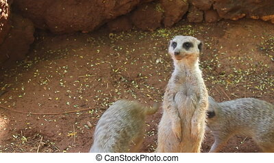 surrogate meerkats standing upright