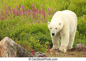 Walking Polar Bear - Canadian Polar Bear walking in the...