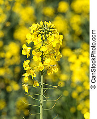 Blooming rapeseed - Rapeseed close up at spring