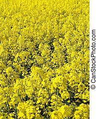 Blooming rapeseed field - Rapeseed field closeup