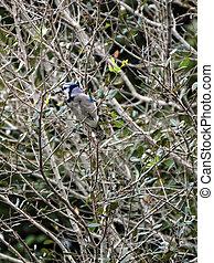 Blue Jay in a Tree