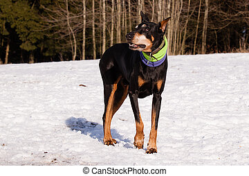 Doberman in winter - Doberman named Andy in winter on snow