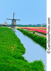 tulips and windmill - colorful field of tulips and windmill...
