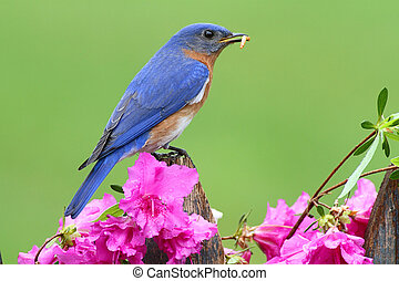 Male Eastern Bluebird (Sialia sialis) on a fence with...