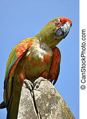 Military macaw perched