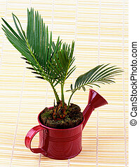Little Palm Chrysalidocarpus Areca - Little Houseplant...