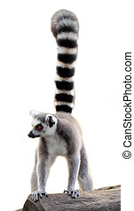 lemur isolated