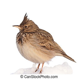 Crested Lark on snow isolated