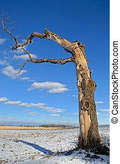 Dead Tree - Bare dead maple tree in field with light snow...