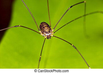 Harvestmen Spider perched on a green plant leaf