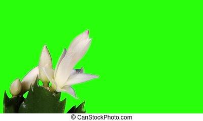 White schlumbergera - Epiphytic cactus. White schlumbergera...