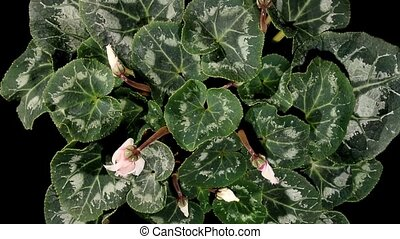 Flowering white cyclamen
