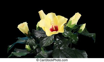 Blooming yellow Hibiscus