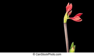 Growth of red hippeastrum