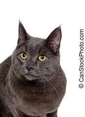 Face of gray cat on white background
