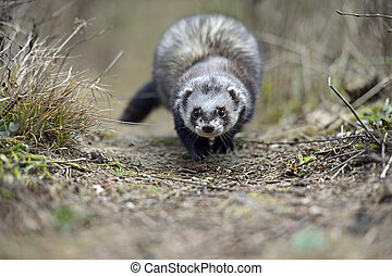 Weasel - Stoat Mustela erminea standing on a log hunting for...