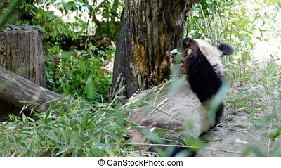 huge panda a bear - Big bear panda eats bamboo shoots
