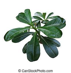 Adenium leaf isolated on white background