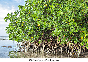 Mangroves in lagoon - Mangroves growing in shallow lagoon...