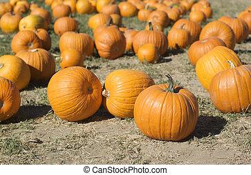 Group of pumpkins in a pumpkin patch