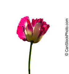 Pink opuim poppy flower isolated on white background