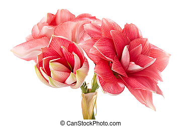 "Hippeastrum ""Double Dream"" isolated on the white background"